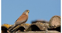 BIRDWATCHING (FALCONS) IN ST PONS DE MAUCHIENS, JULY 8TH, 2020
