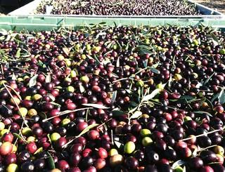 recolte-olives44-ok Vialla
