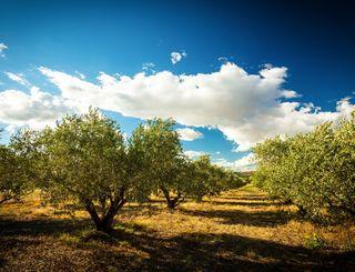 Fleur d'olive-Nissan Lez Enserune_18 2017 - Hervé Leclair_Asphéries - Sud de France Développement