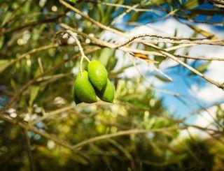 Fleur d'olive-Nissan Lez Enserune_19 2017 - Hervé Leclair_Asphéries - Sud de France Développement