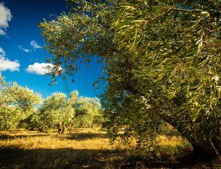 Fleur d'olive-Nissan Lez Enserune_20 2017 - Hervé Leclair_Asphéries - Sud de France Développement