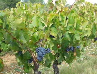 Domaine Cavailles - Minerve - Vigneron Minervois ©Domaines Cavailles - Minerve -Vigneron Minervois